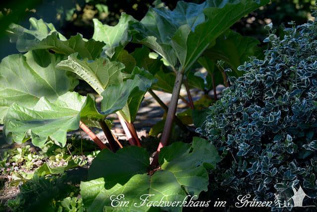 Die Rhabarberstaude in unserem Garten