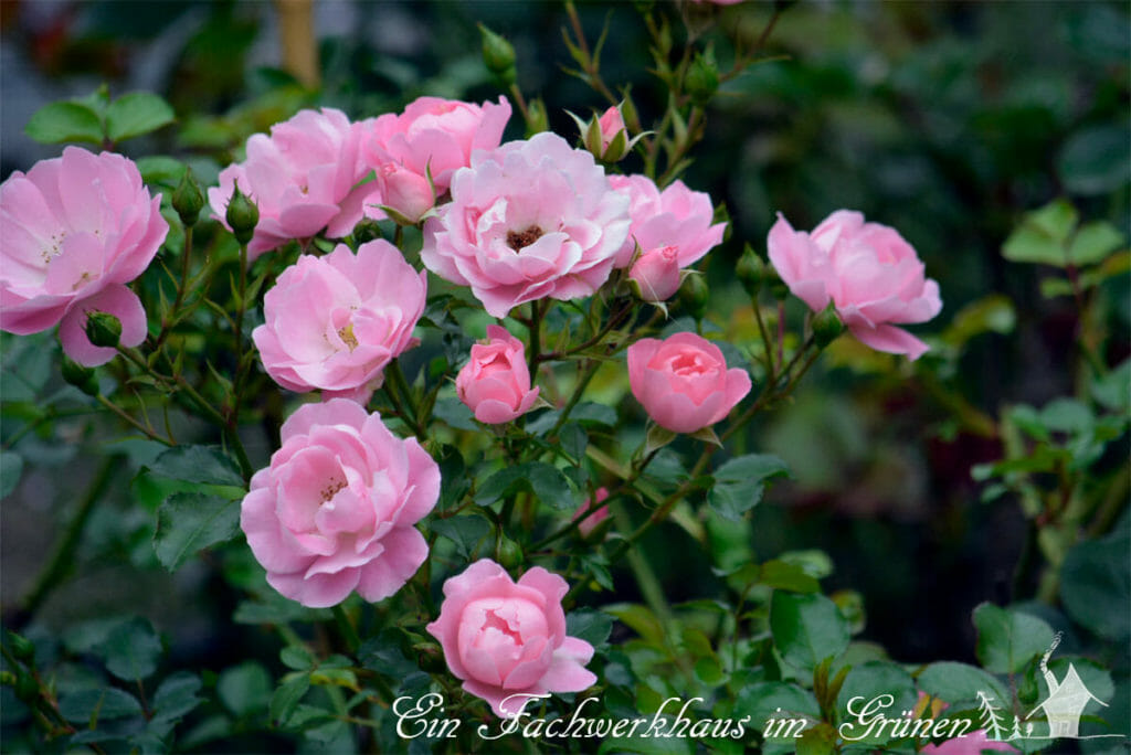 Sommerwind Rose