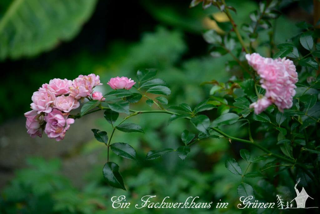Rose The Fairy, Dauerblüher