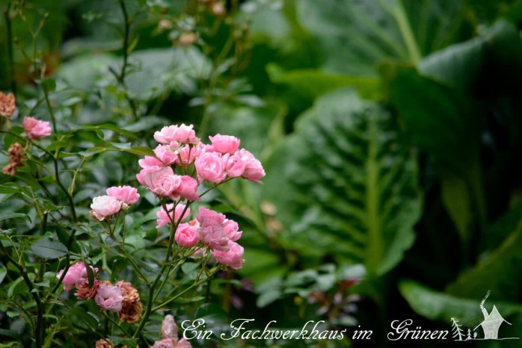 Rose The Fairy , Dauerblüher