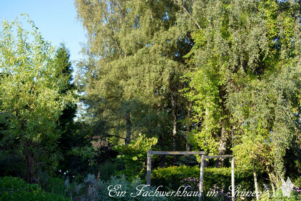 Birken im naturnahem Garten.