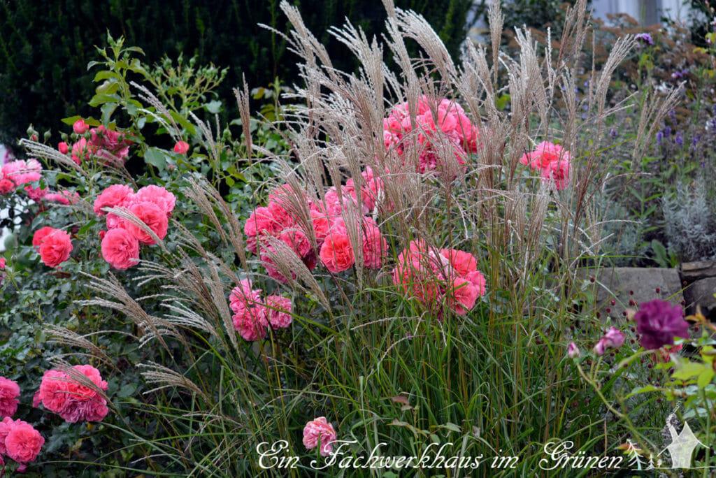 kletterrose rosarium uetersen