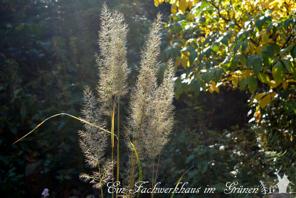 Gräser im Garten hier Calamagrostis brachytricha