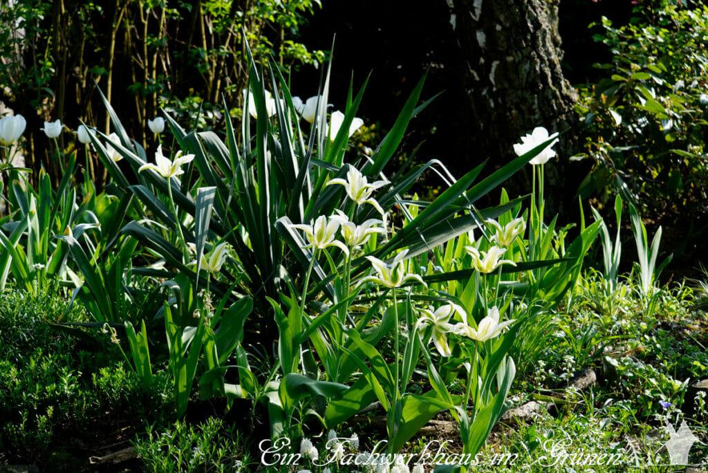 Tulpen, Gartenblog