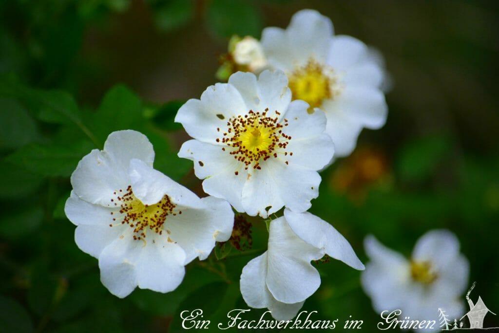 Eine wilde Rose