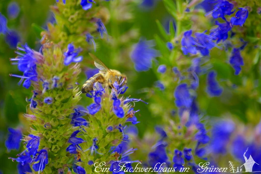 Ysop, Bienen, Kräuter