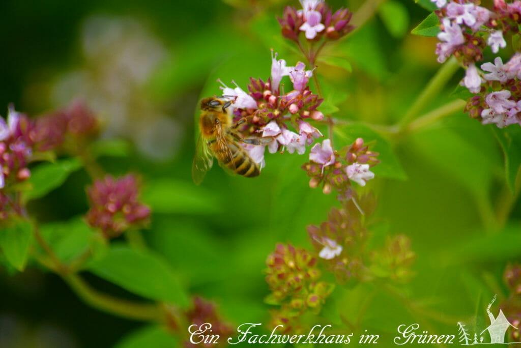 Oregano, Bienen, Kräuter