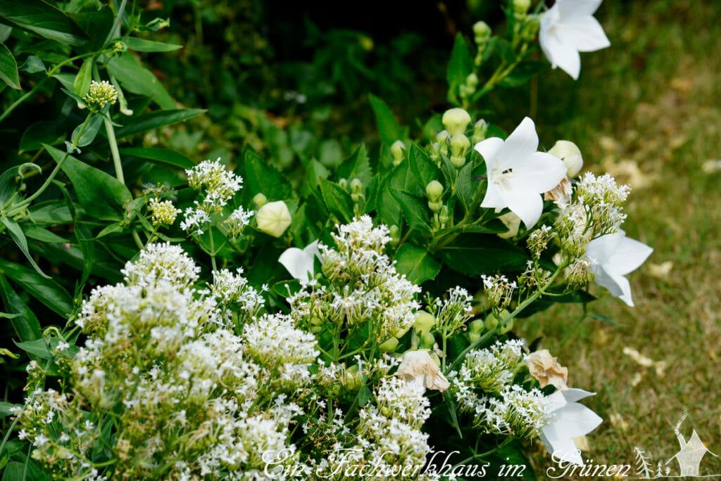 Centranthus ruber 'Albus', Platycodon grandiflorus 'Alba'