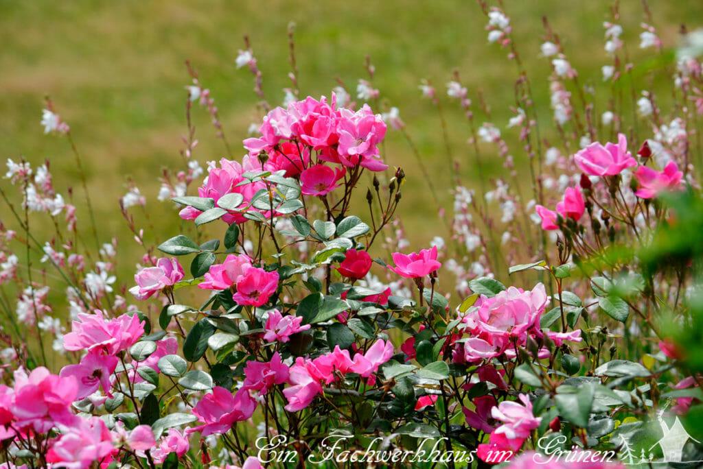 Rose '  ' und Gaura