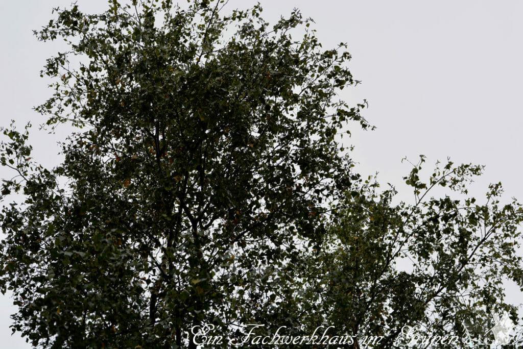 Die Elstern in unserem Garten bauen ihr Nest gerne ganz Oben in einer Birke.