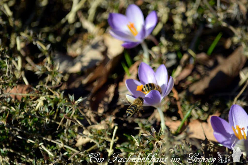 Krokus, Krokusse, Bienen