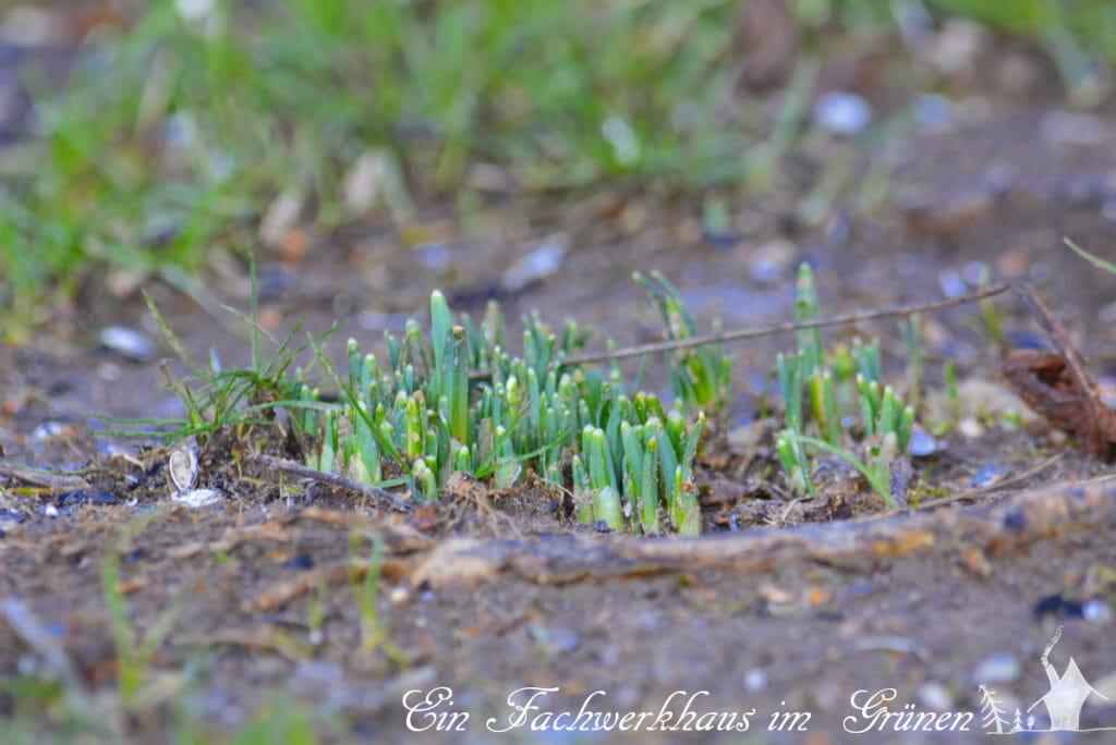 Schneeglöckchen sind auch Vorboten des Frühlings.