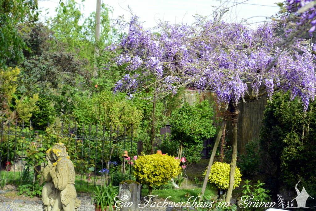 Blauregen im Rosengarten