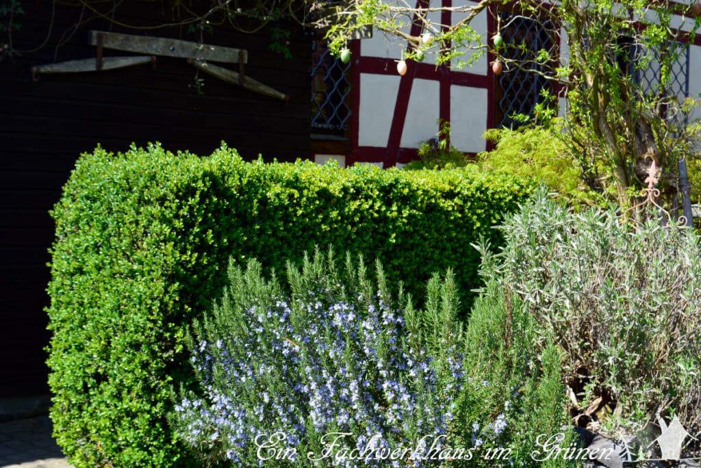 Eine Hecke aus Buchs bildet die Grenze für den Kräutergarten.