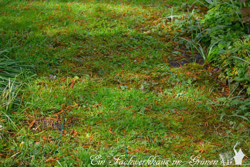 Kabel für den Mähroboter in unserem Rasen.