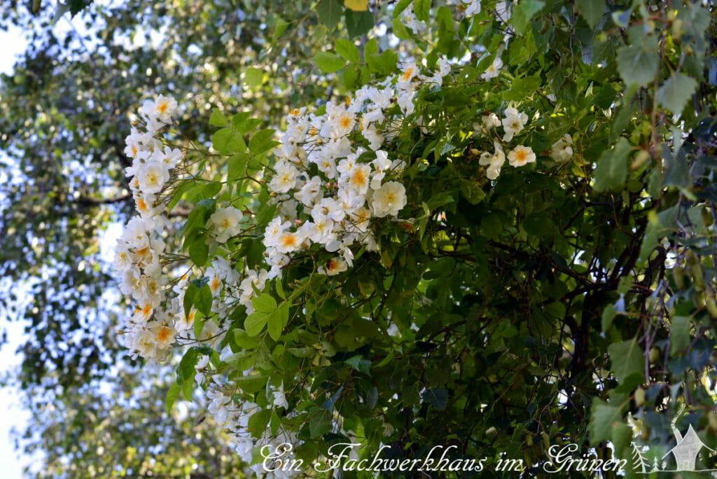 Die Blüten der Bobby James.