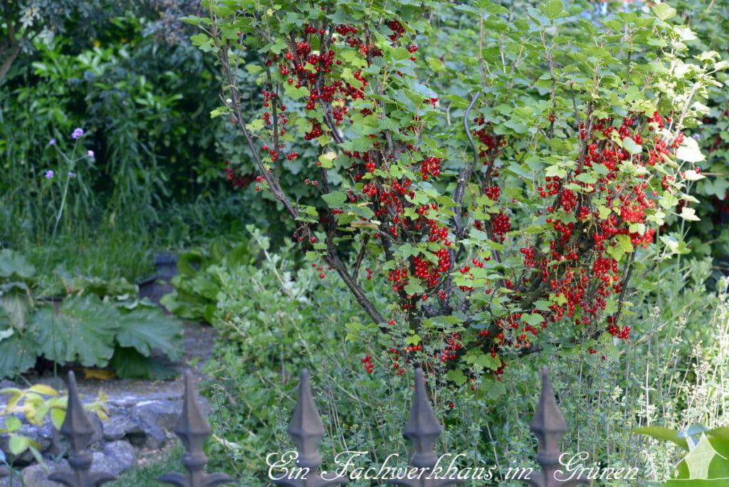 Die Beeren setzten mit ihrer roten Farbe einen Akzent im Garten.