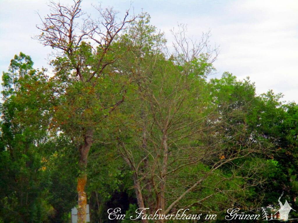 Auch Laubbäume leiden unter dem Dürresommer.