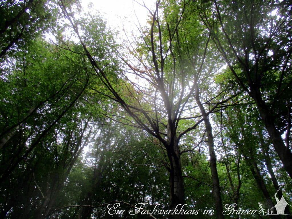 Auch Laubbäume leiden unter der Dürre.