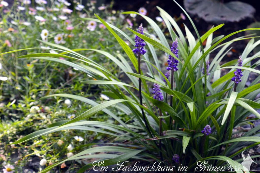 Die Traubenlilie wächst bei uns im Garten an einem geschützten Standort.