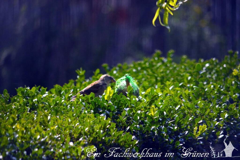 Ein Spatz sitzt auf einem Buchs in unserem Garten. Hoffentlich findet er auch den Zünsler.
