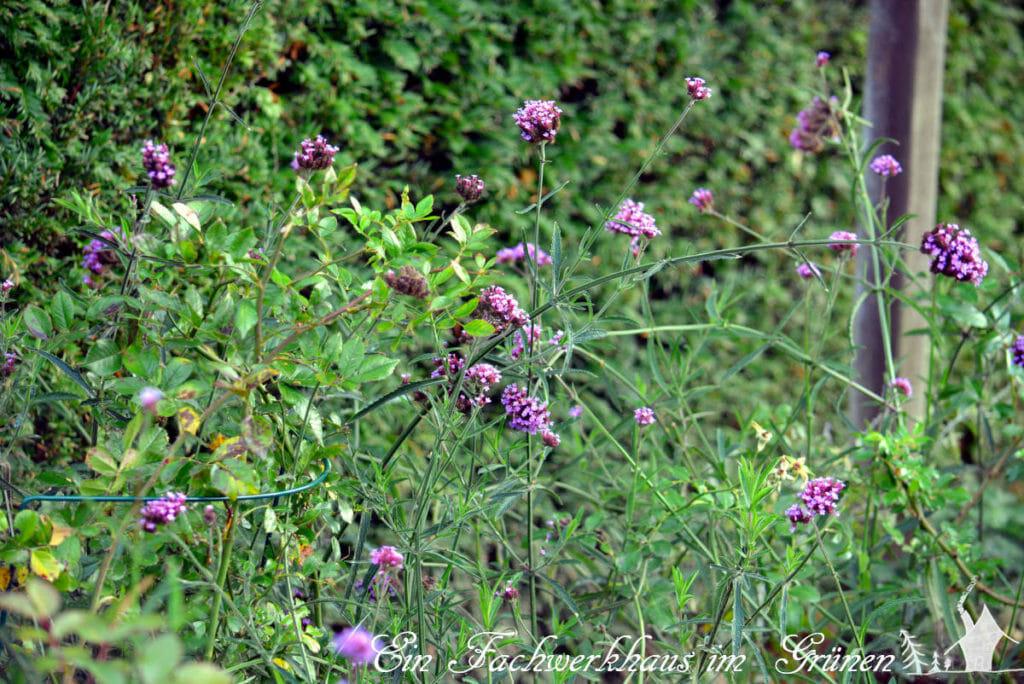 Das Patagonische Eisenkraut (Verbena bonariensis) in unserem Garten als Begleiter der Rosen.