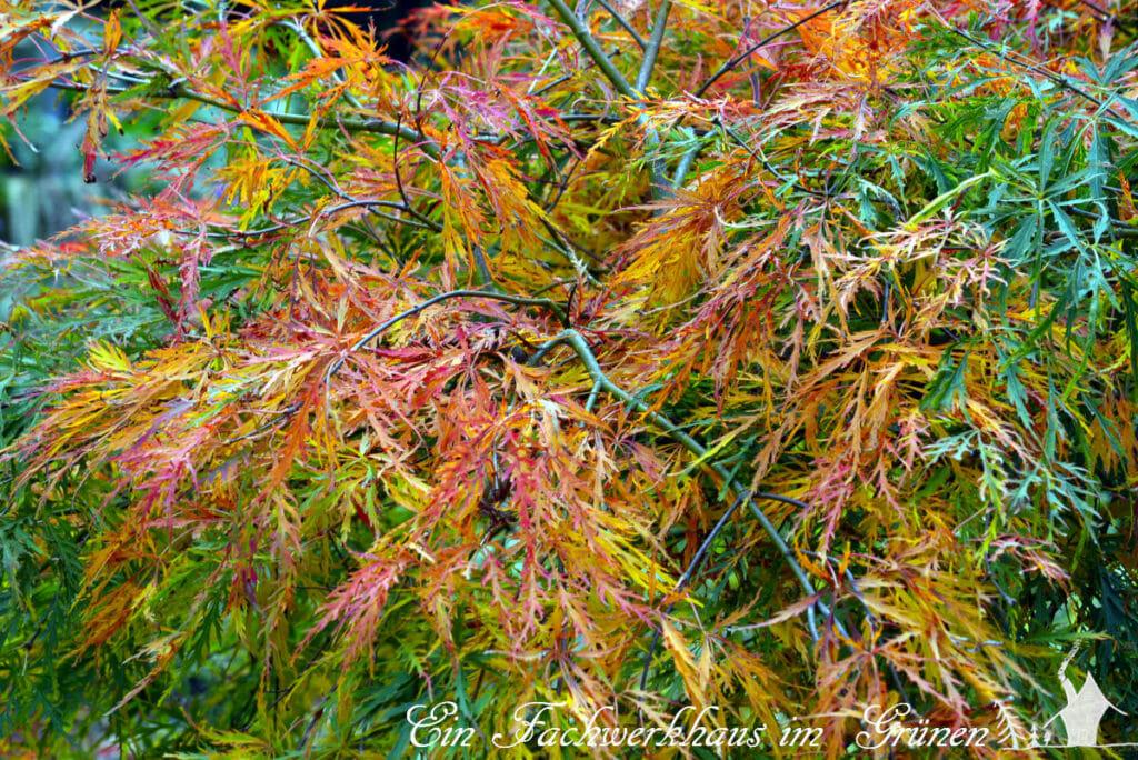 Die Blätter des Fächerahorns entzücken im Herbst mit ihren wunderbaren Farben.