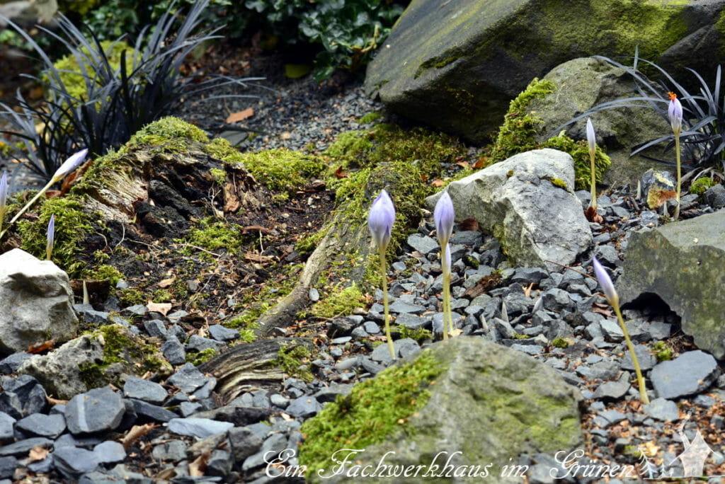 Der Herbstkrokus wächst in einem kleinen Steingarten.