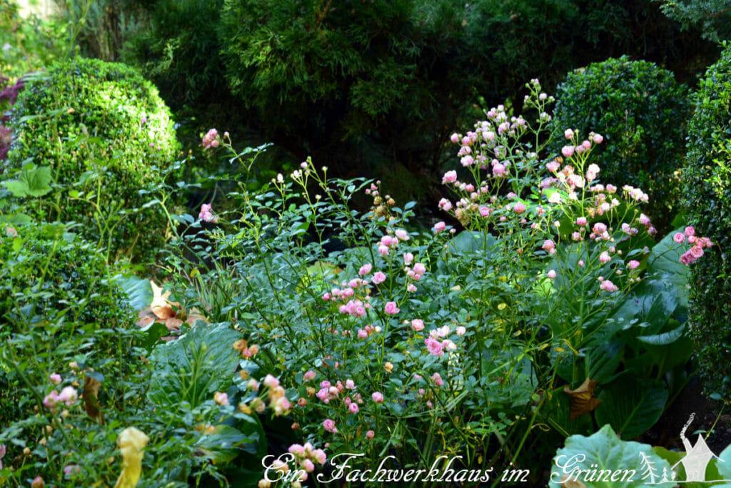 Die Rose The Fairy in unserem Garten.