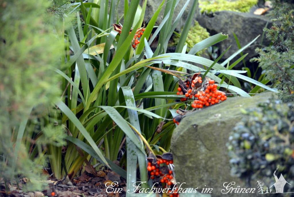 Die Iris foetidissima sorgt im Herbst für Abwechslung im Garten