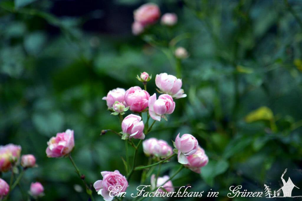 Rose The Fairy in unserem Garten.