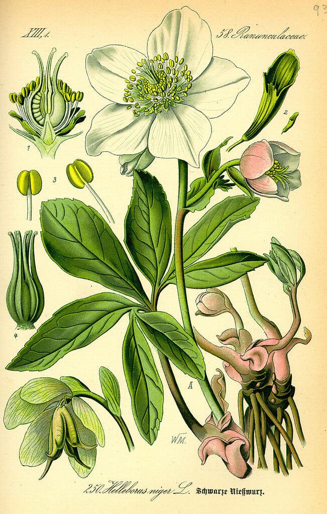Illustration der Christrose