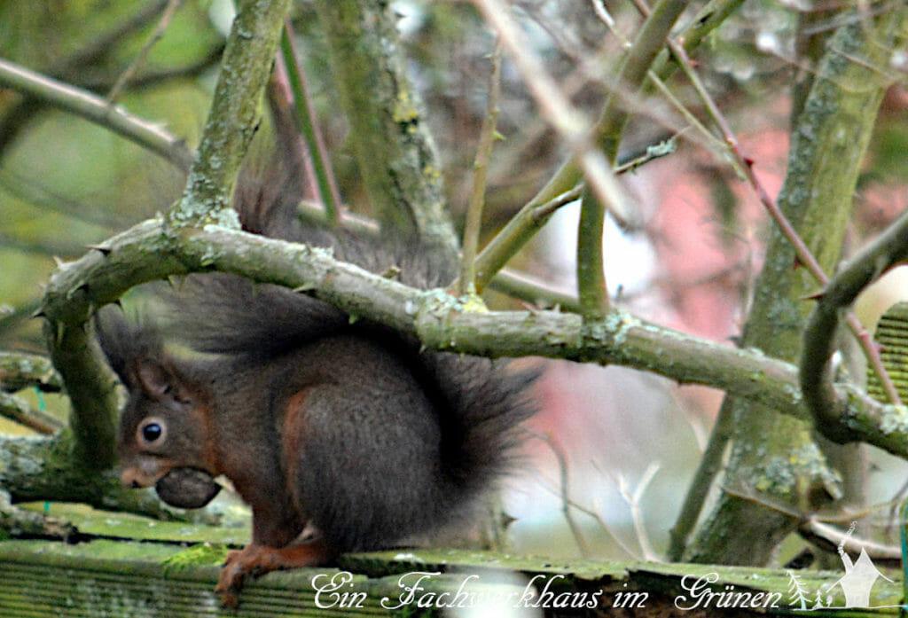 Schnappschuss, ein Eichhörnchen frühstückt.
