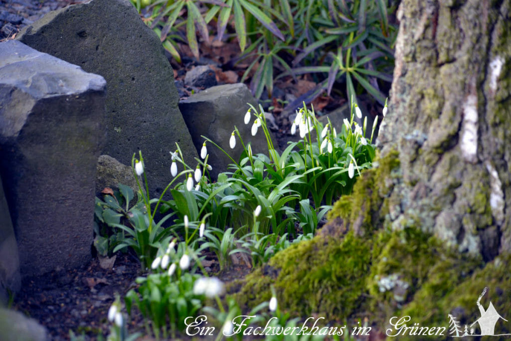 Der Garten im Februar 2020. Die Schneeglöckchen blühen schon.