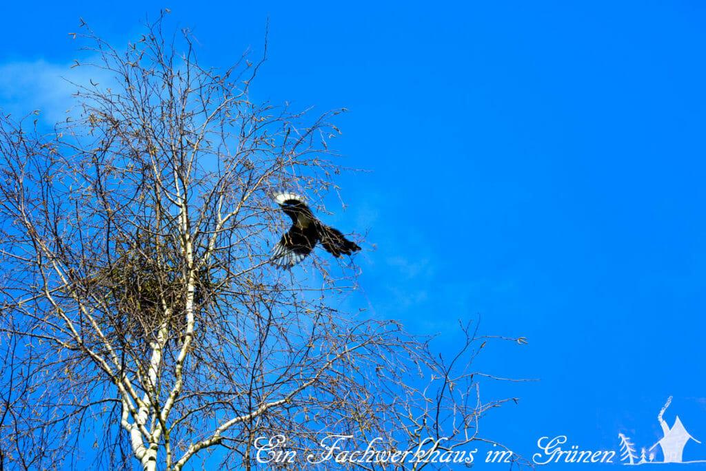 Die Elster baut ein Nest in einer Birke.