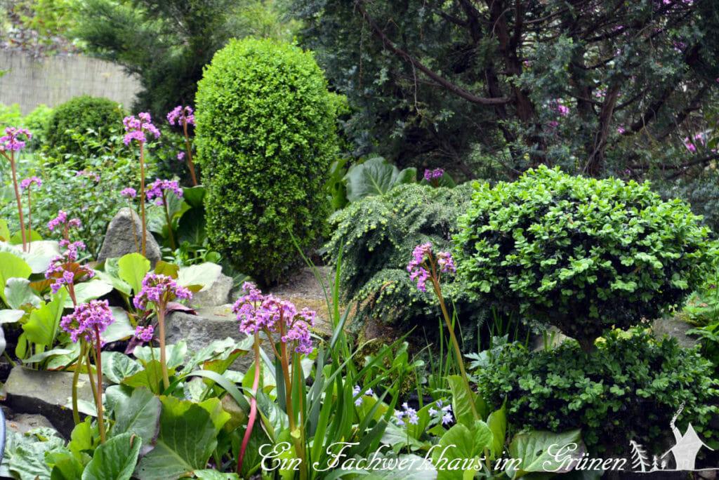Die wunderschönen Blüten der Bergenien erheben sich regelrecht über die Pflanzen.
