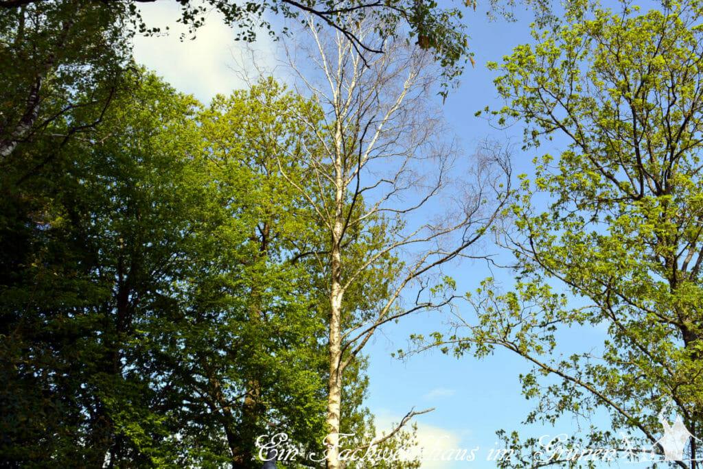 Eine der sechs Birken in unserem Garten hat die Dürre der letzten Jahre leider nicht überstanden.