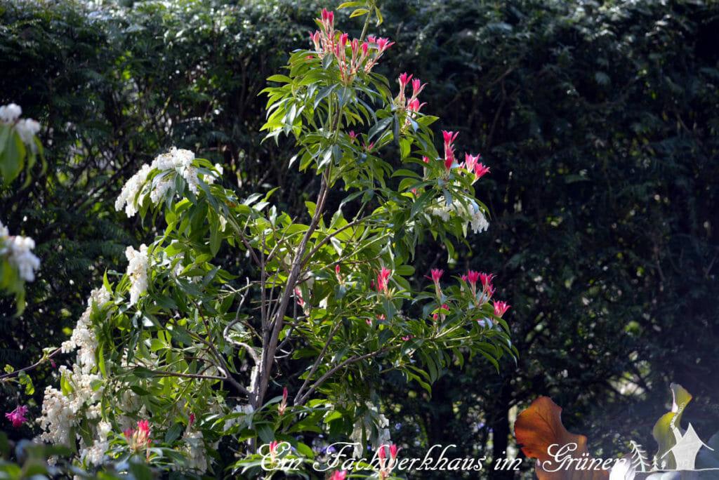 Die Lavendelheide 'Red Mill' überrascht mit ihrem Farben- und Blütenreichtum.
