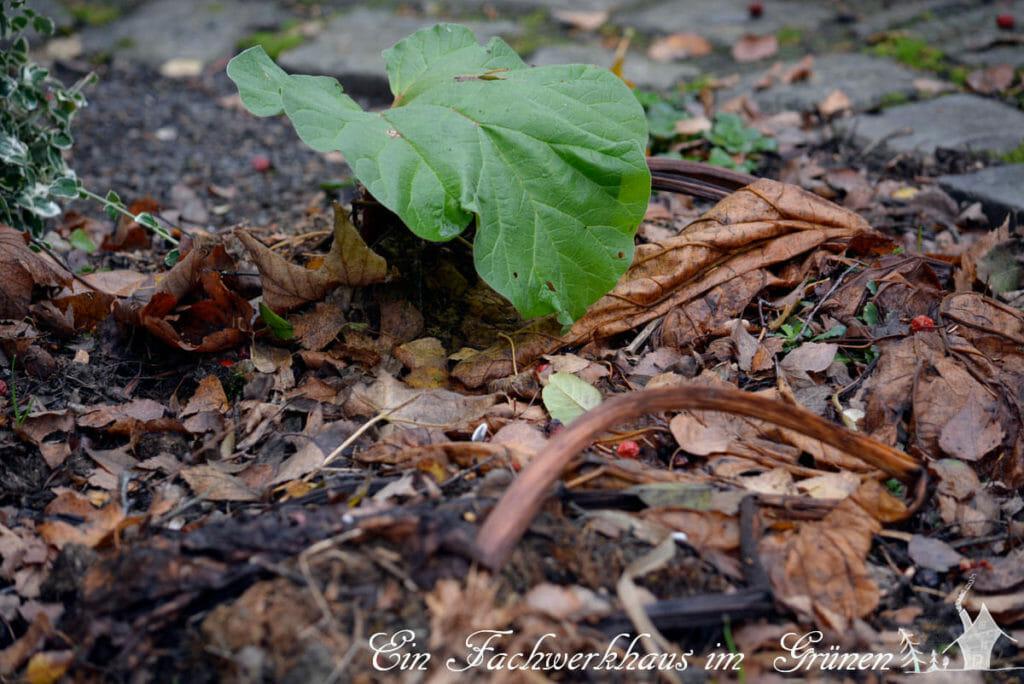 Der Rhabarber im Herbst