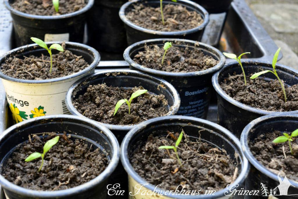 Tomaten aus Samen ziehen.