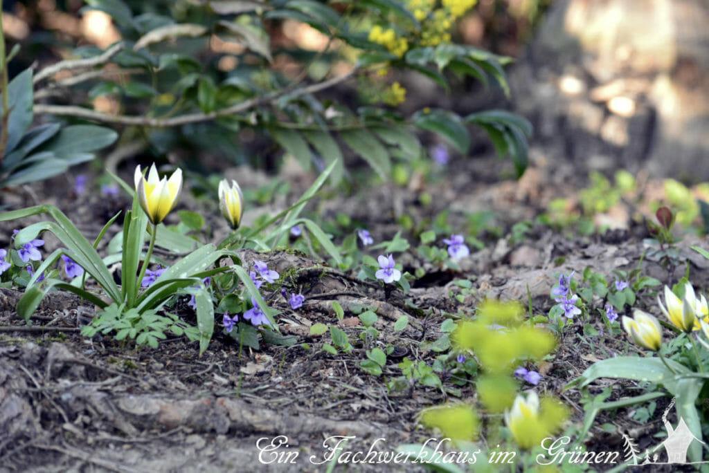 Die Zwerg Stern Tulpe in unserem naturnahem Garten.