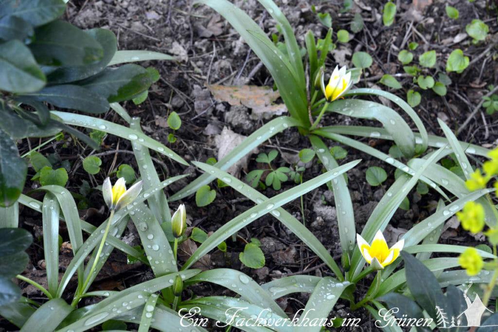 Die Tulipa Tarda in unserem Garten.