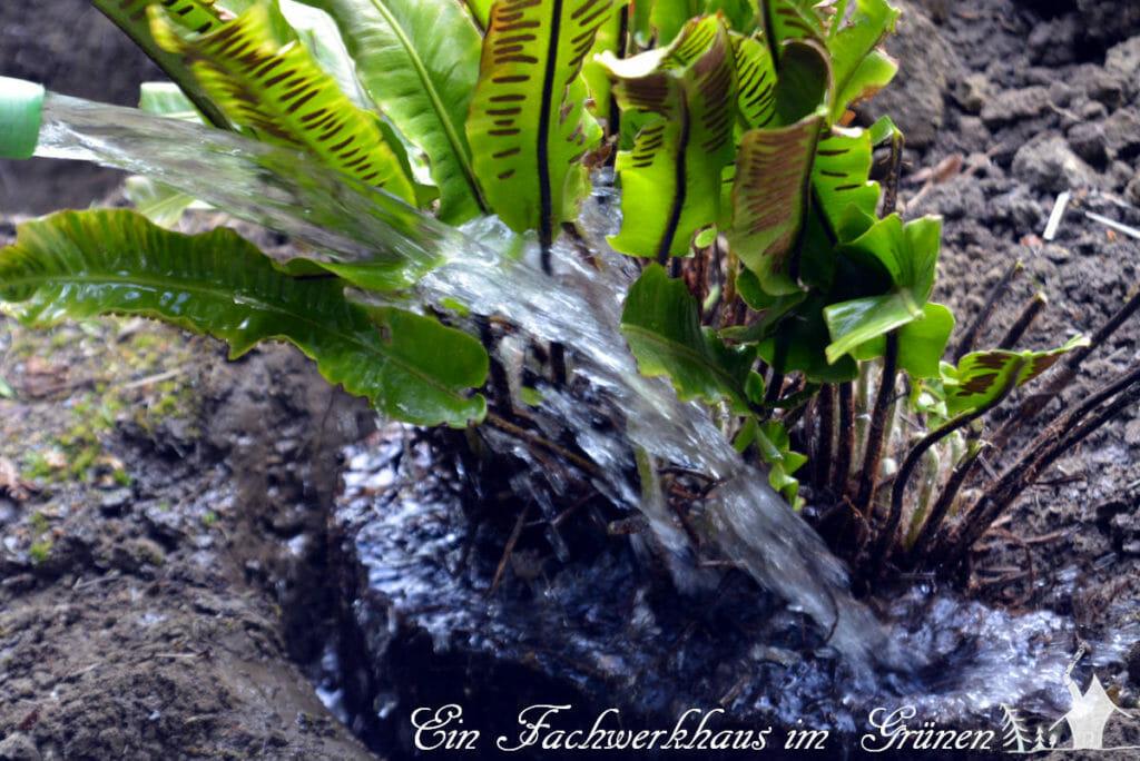 Mit Wasser sollte man, besonders wenn es trocken ist nicht sparen.