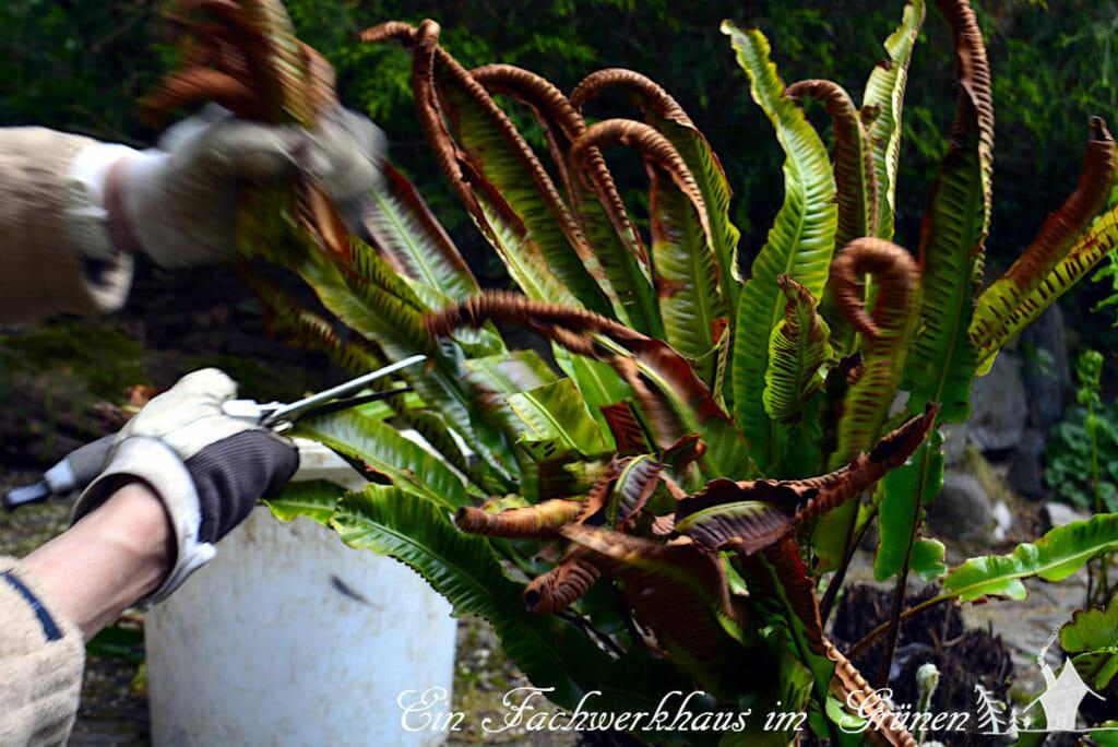 Die Blätter des Hirschzungenfarns werden eingekürzt.