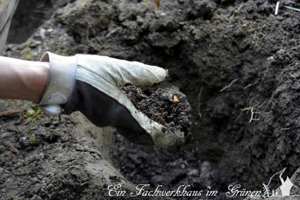 Zuerst geben wir Kompost in das Loch, bevor die neue Pflanze einzieht.