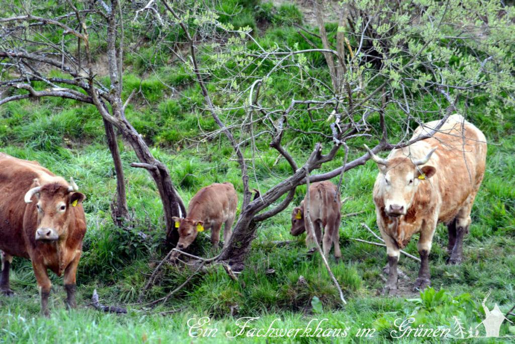 Kühe haben hier noch richtig viel Platz. Und für die Kälber ist es schon fast ein Abenteuer Spielplatz.
