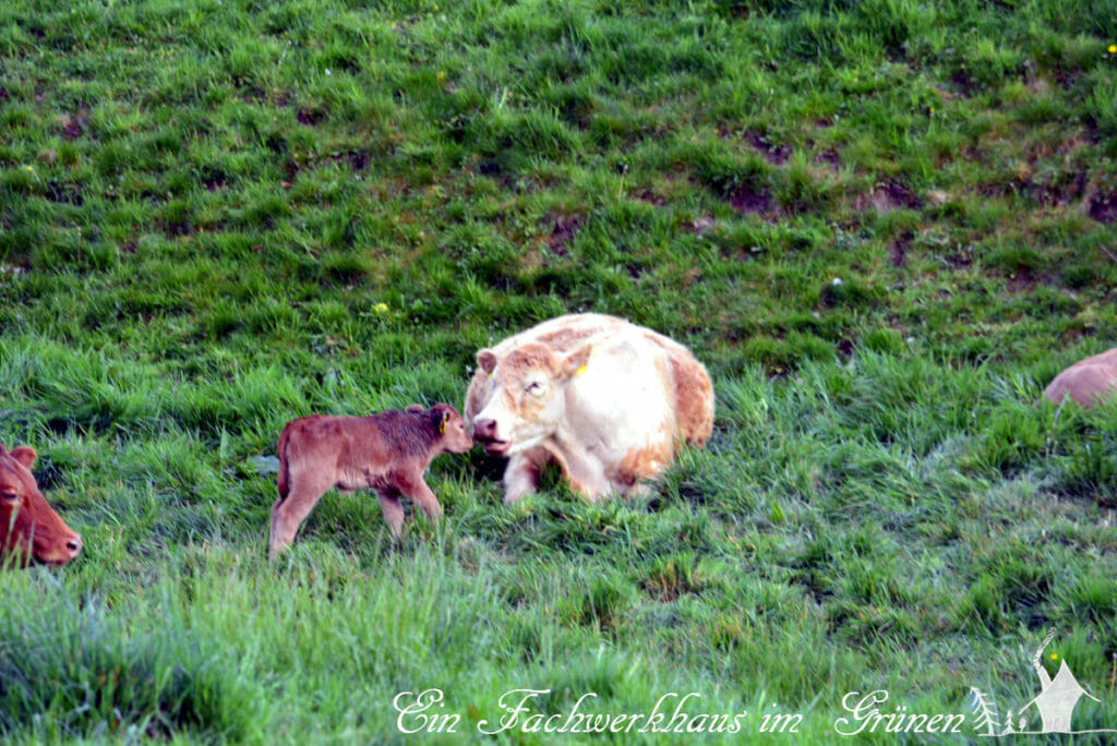 Eine Kuh und ihr Kalb.