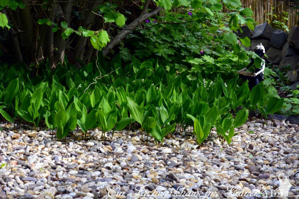 Die Maiglöckchen wachsen so langsam im weiter in den Weg hinein.