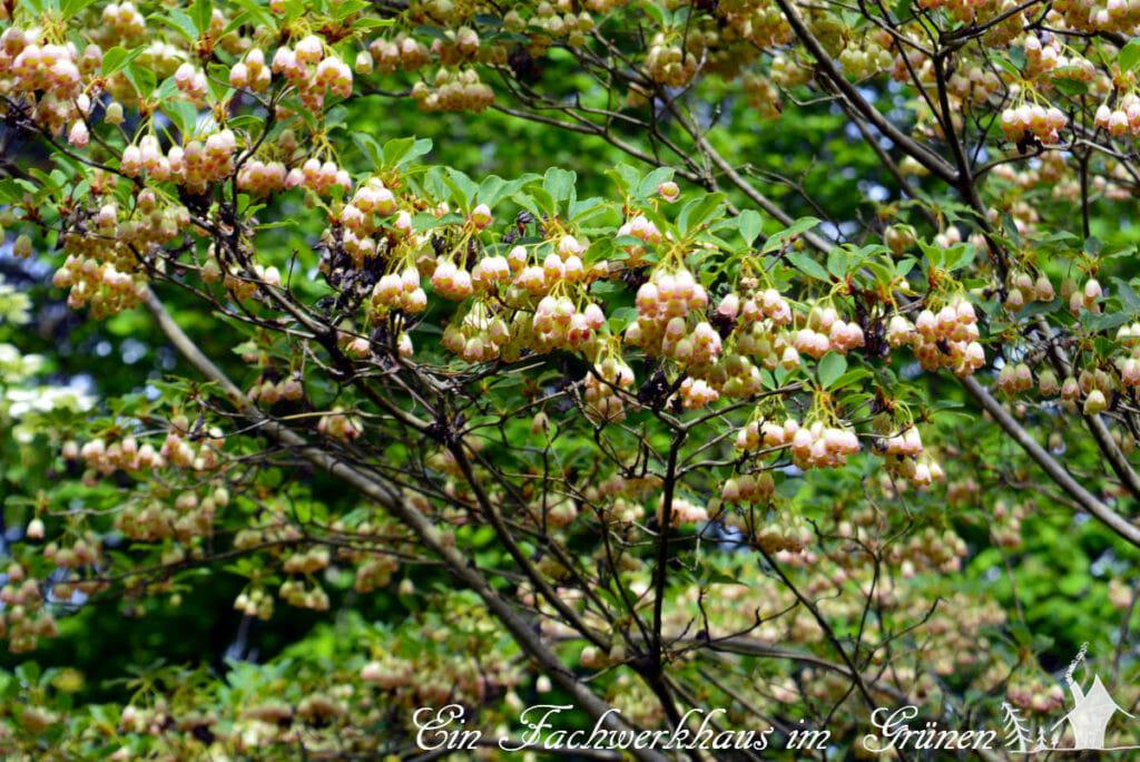 Die Prachtglocke. Ihre kleinen, glockenförmigen Blüten hängen in Trauben von den Ästen.
