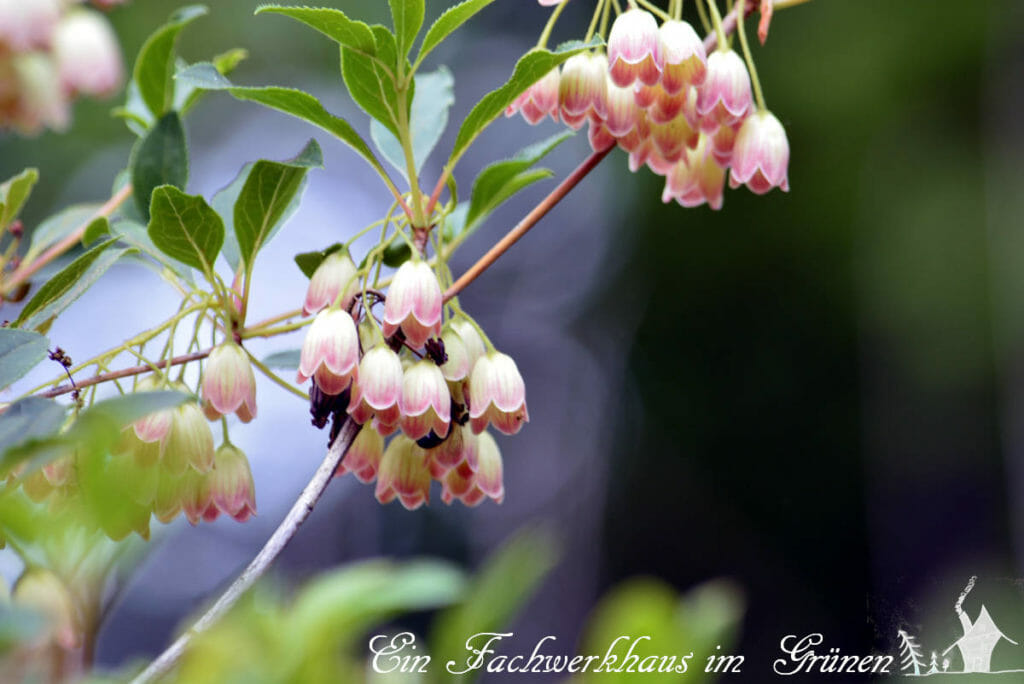 Die glockenförmigen Blüten der Prachtglocke.